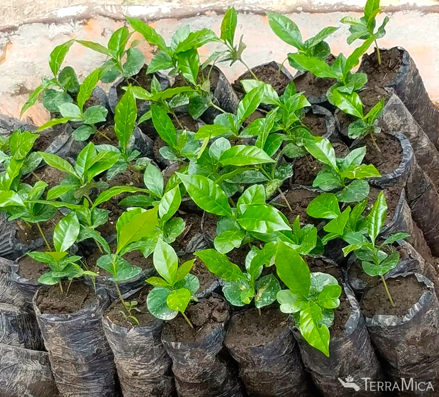 group-of-coffee-seedlings.jpg