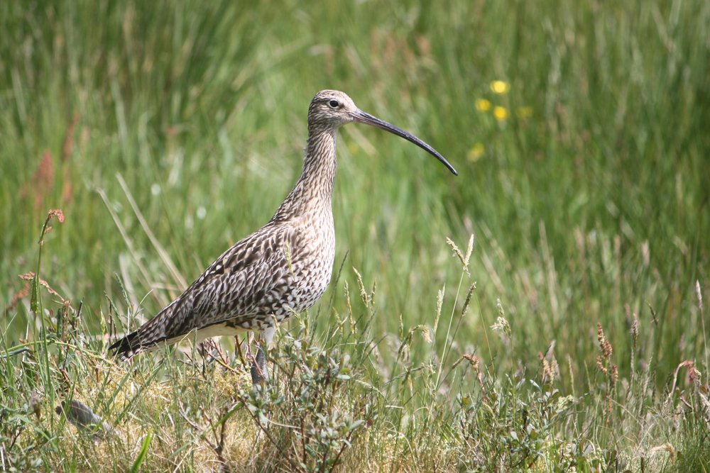 We need your help to care for endangered species like curlews!