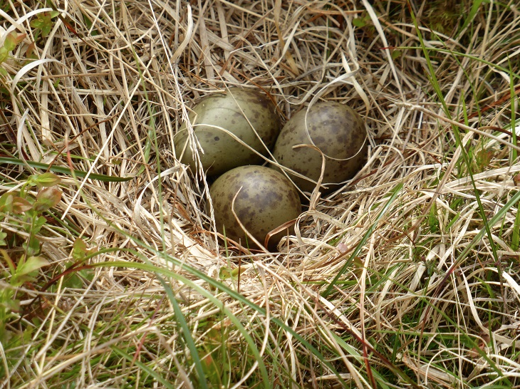 A curlew's nest on heather moorland
