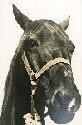 1981 Inductee Animal Midnight.jpg