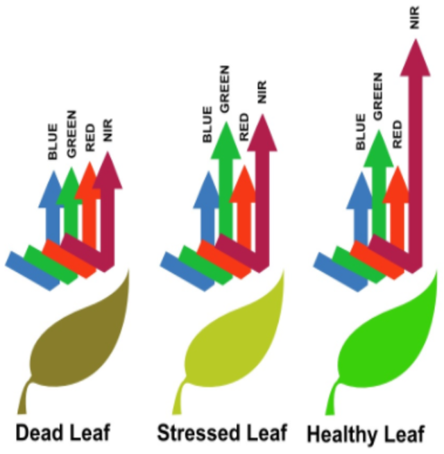 As you can see, a stressed leaf and a healthy leaf reflect nearly the same amount of blue, green, red light, but a healthy leaf reflects more near-infrared light.