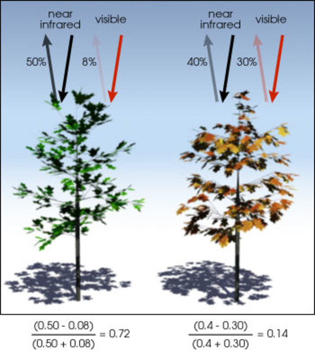 Healthy vegetation (left) absorbs most of the visible light that hits it and reflects a large portion of the near-infrared light. Unhealthy or sparse vegetation (right) reflects more visible light and less near-infrared light. The numbers on the figure above are representative of actual values, but real vegetation is much more varied. (Illustration by Robert Simmon)