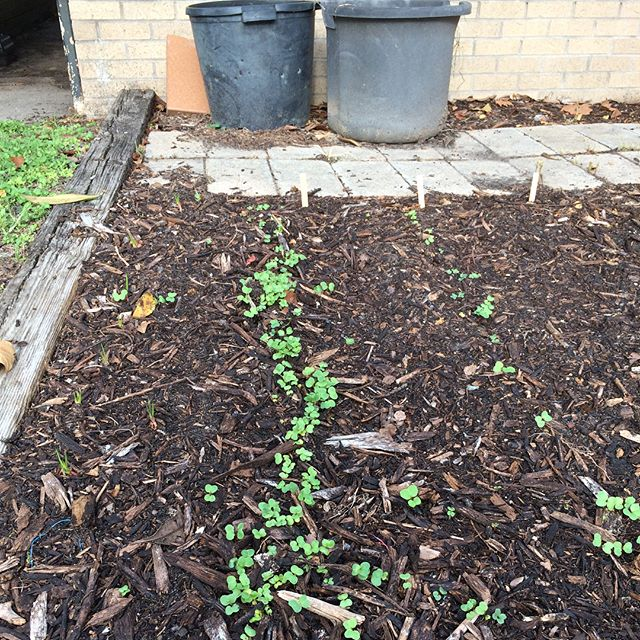 The seeds planted last weekend in the community garden are already growing! We also secured some broccoli to add to it 🥦🥦🥦 #meetyourneighbors #cultureofagriculture #MagnoliaGROWing #EEBPHTX