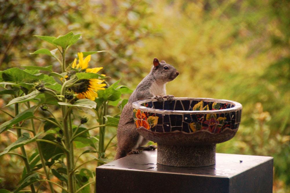 a squirrel peeks into a bird bath