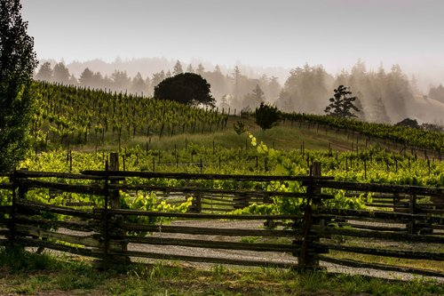 A misty morning view of vineyards behind a rustic wood fence.