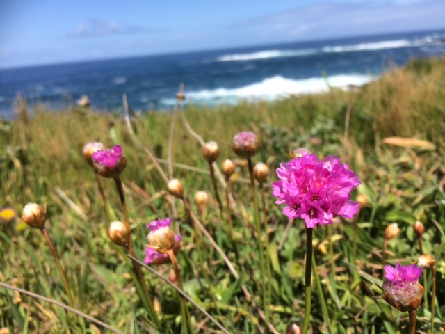 Sea Pink, also called Thrift