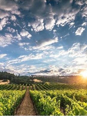a sunlit vineyard
