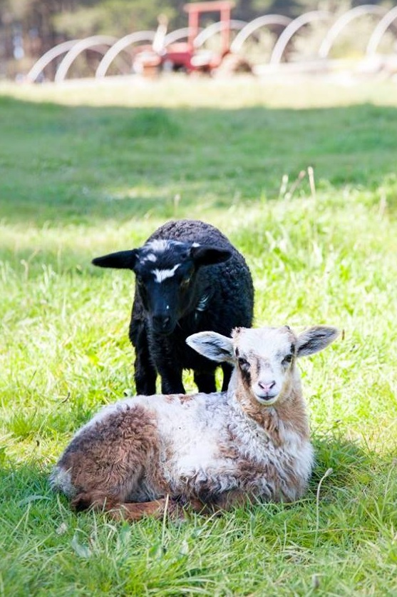 Fortunate lambs