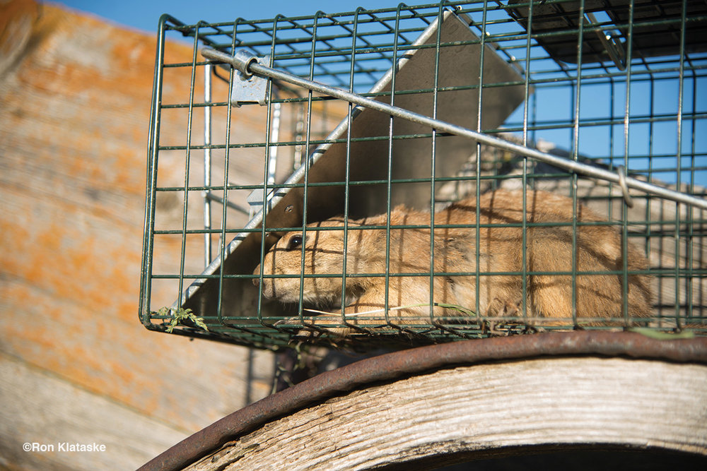 Prairie Dogs Bring Out the Worst and Best in Wildlife Stewardship