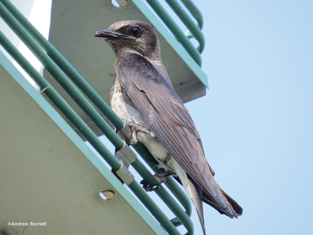 Parsons: The Purple Martin Capital of Kansas
