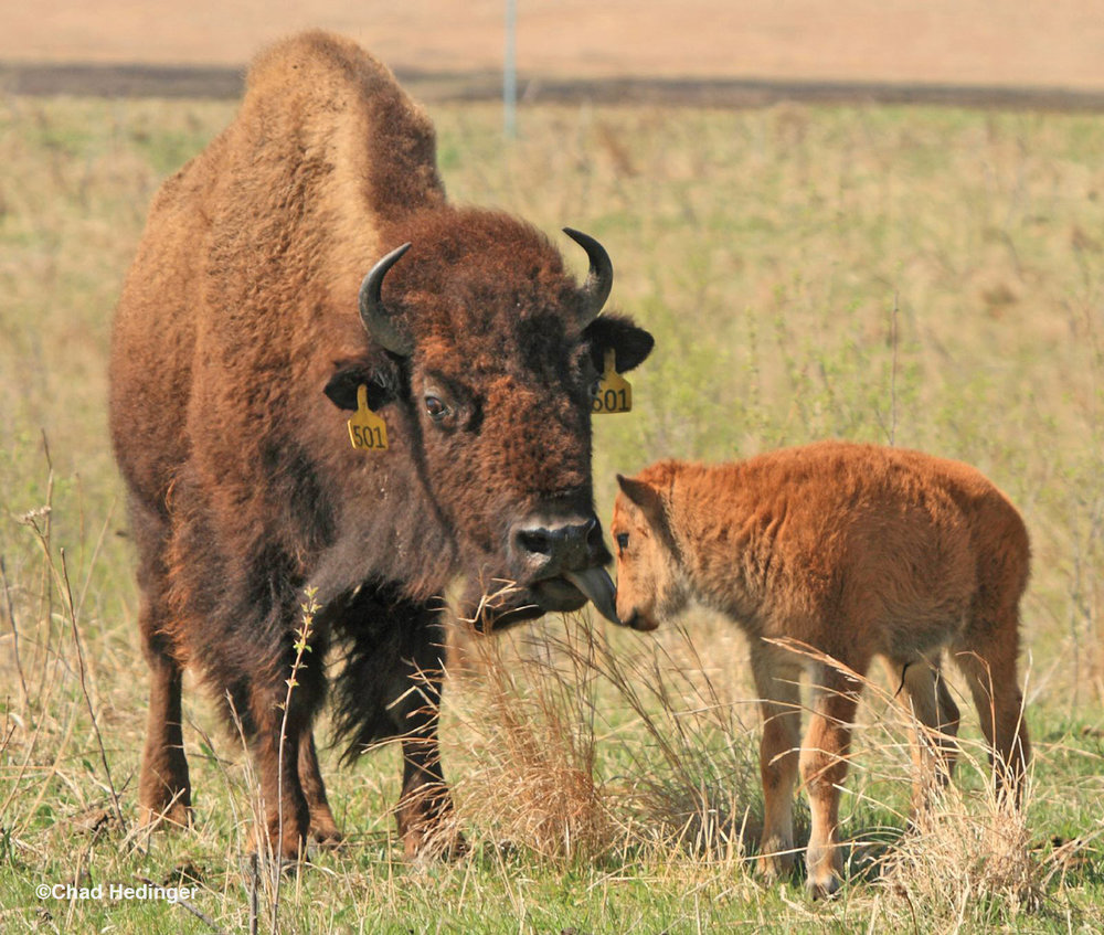Bison Matters: Konza Prairie, Mid-October, Mid-Day