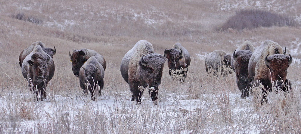 Bison in snow.