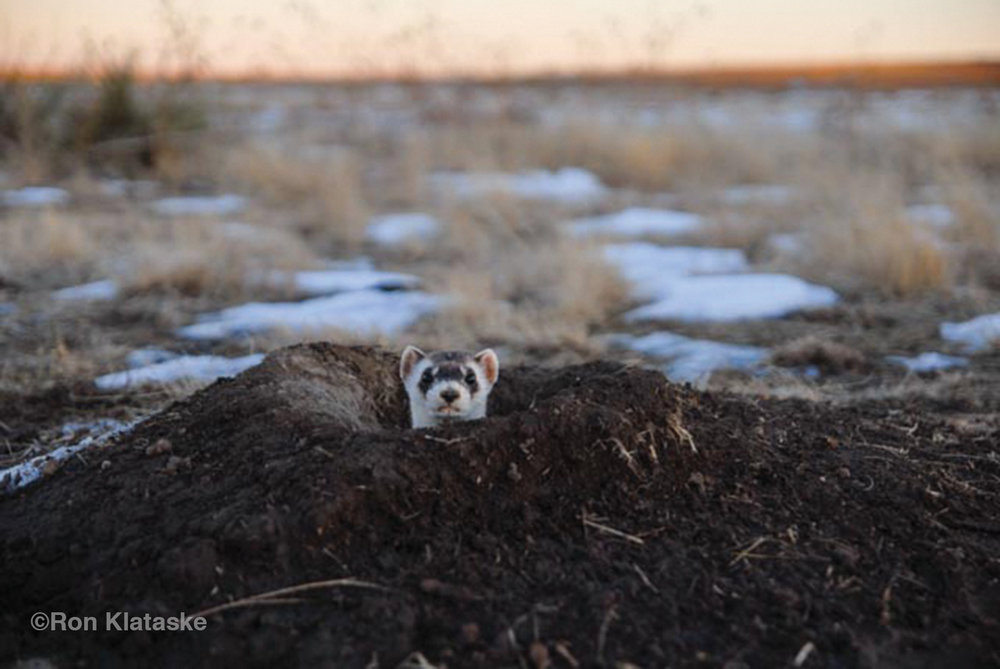 One of the first Black-footed Ferrets reintroduced in Kansas peers out of a burrow a few minutes after being released.