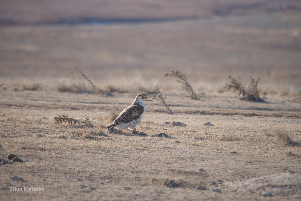 A Ferruginous Hawk stands over its prey while another takes flight on the Greenwald Ranch in Lane County Kansas.