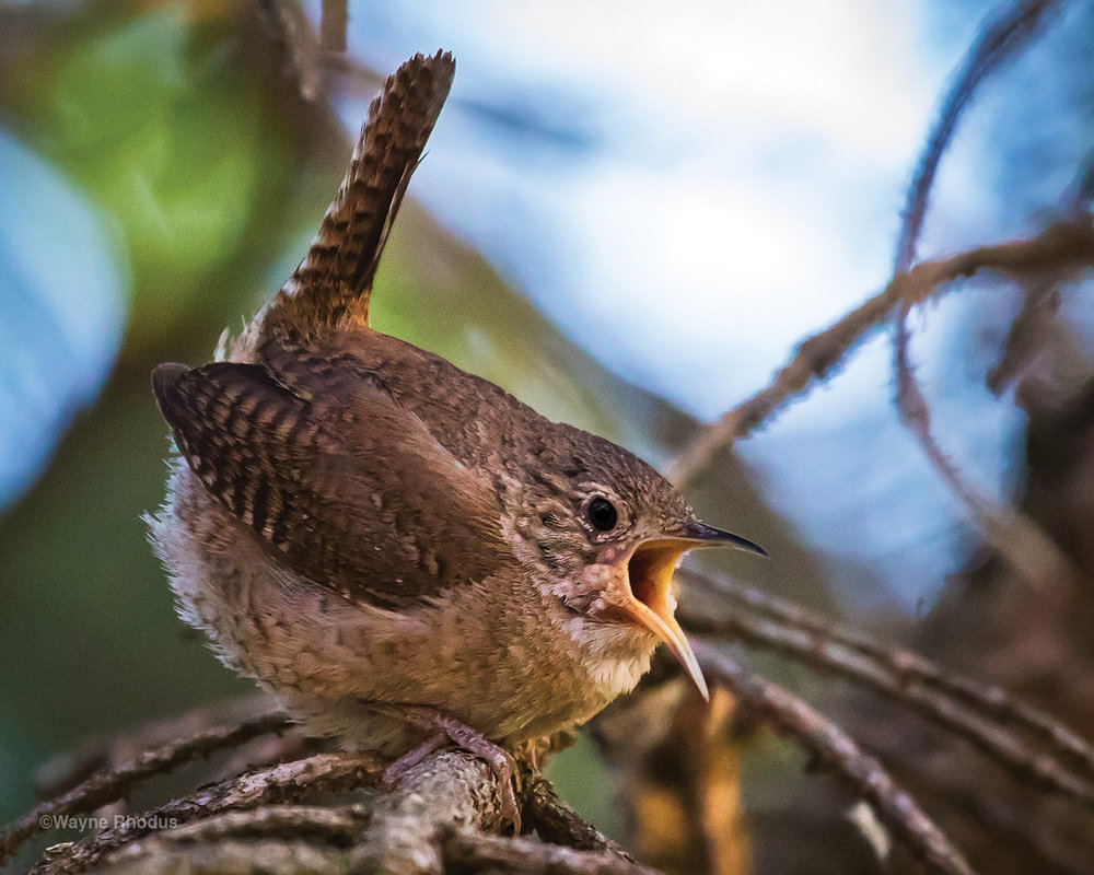 House Wren near the porch at the Lazy Easy Guesthouse.
