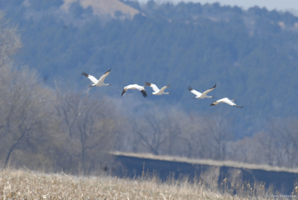 Whooping Cranes near Kaw River by Ron Klataske