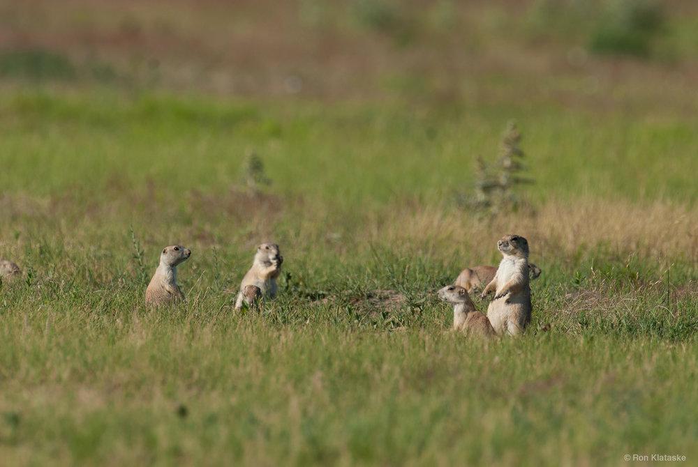 Prairie Dogs © Ron Klataske.jpg