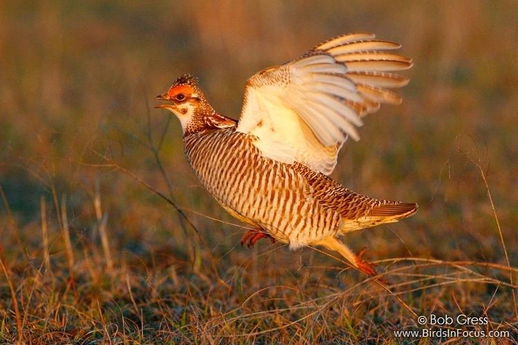 Lesser Prairie-chicken by Bob Gress.jpg