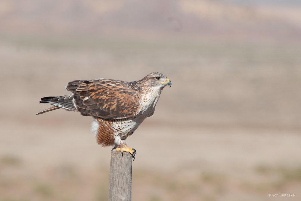 Ferruginous Hawk © Ron Klataske.jpg