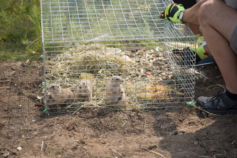 Prairie dog release Aug 2018 cage © Ron Klataske.jpg