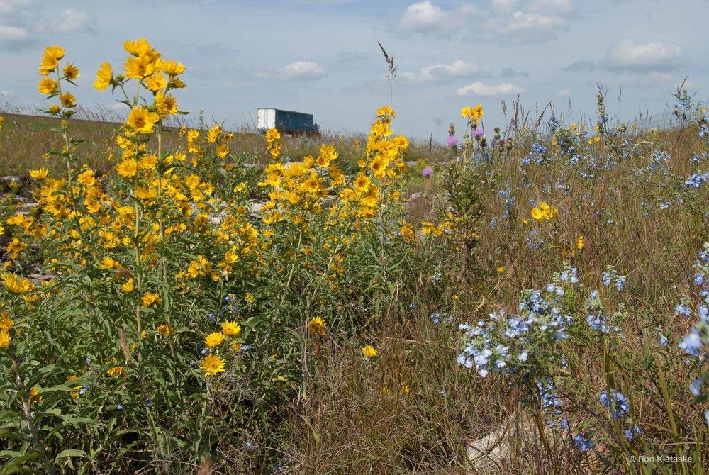 Roadside wildflowers © Ron Klataske.jpg