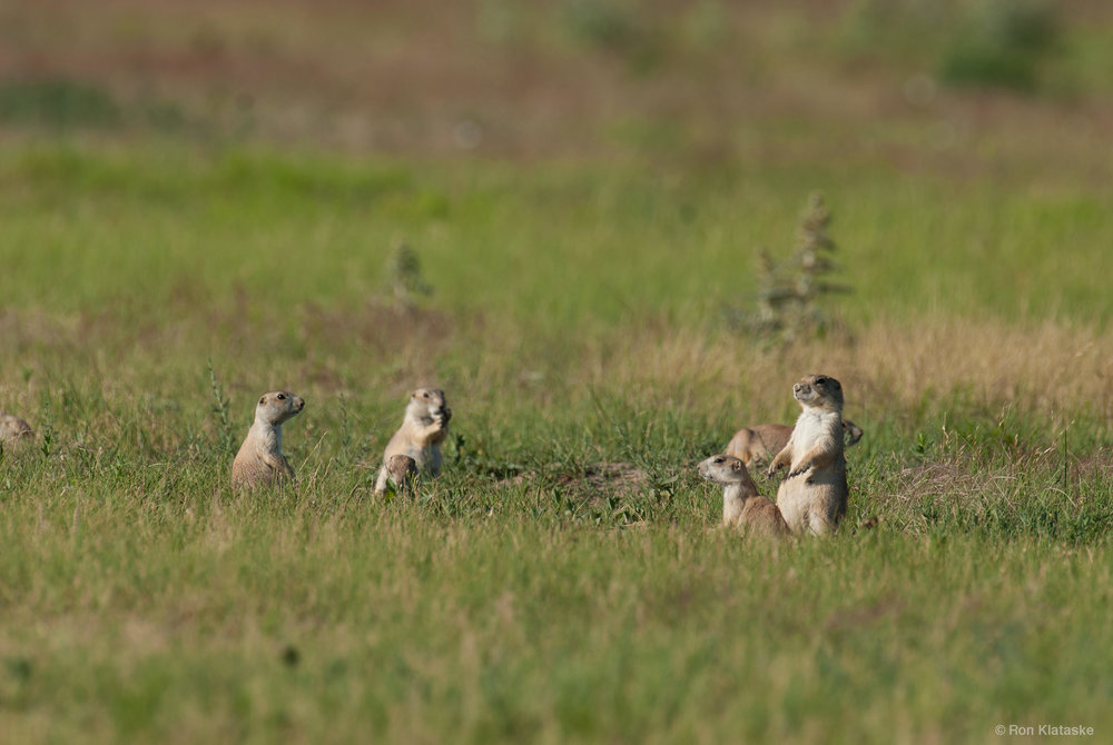 Black-tailed Prairie Dogs. Photo by Ron Klataske
