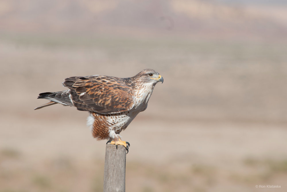 Ferruginous Hawk. Photo by Ron Klataske
