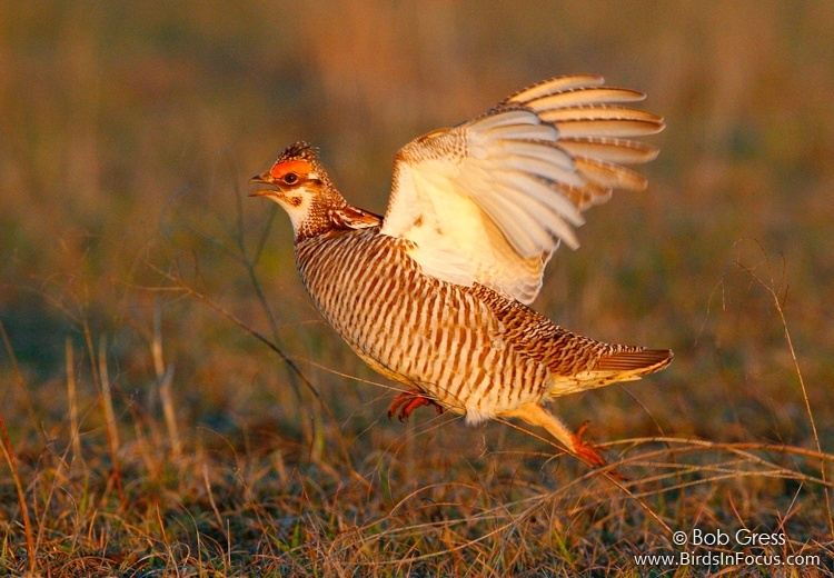 Lesser Prairie-chicken. Photo by  Bob Gress .
