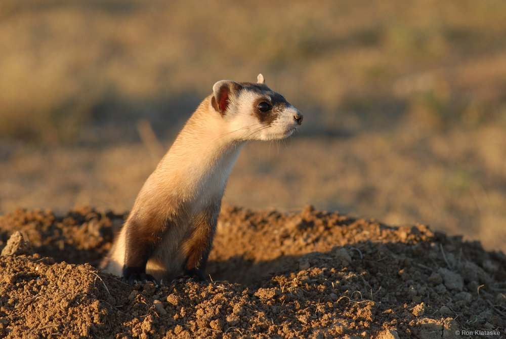 Black-footed Ferrets need your support, and support from our elected officials. Photo by Ron Klataske