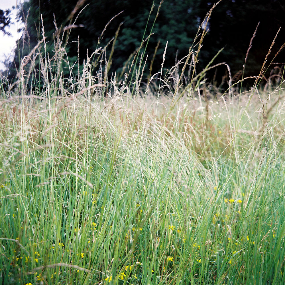 Long grass, UK 2017