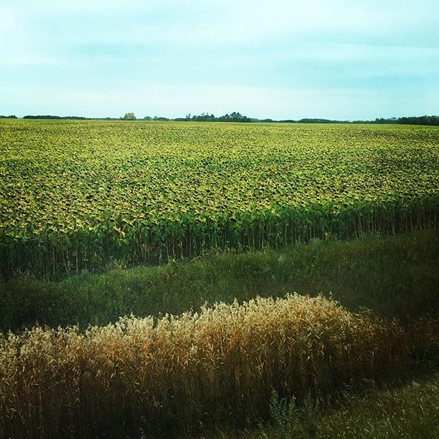 Thousands of #sunflowers in a field beside the #train!