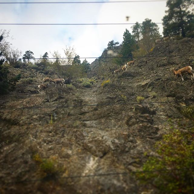 #mountaingoats !! A whole family of them! So cute! #viarailcanada #naturephotography