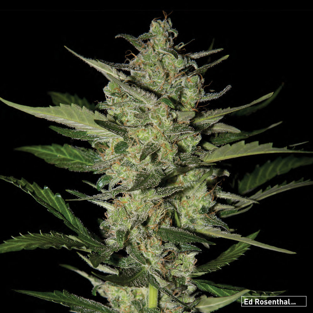 Strain Hunters Seed Bank - 70 I/30 S - Sedative, giggly - Fresh, fruity, sweet.