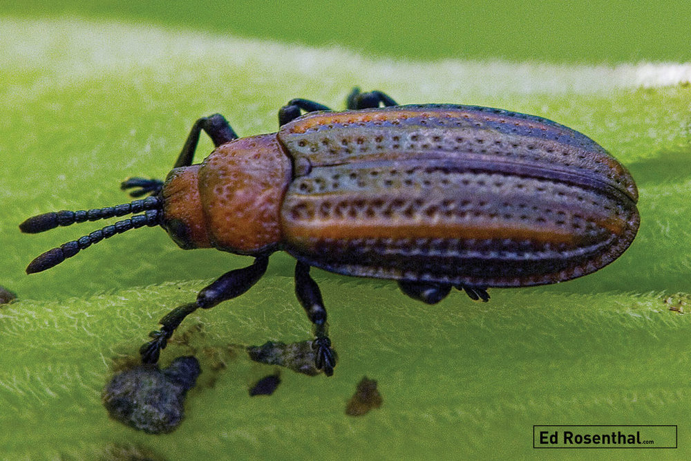 Beetle - Leaf Miner, Orange-shouldered Odontota Scapularis. Image by David Cappaert