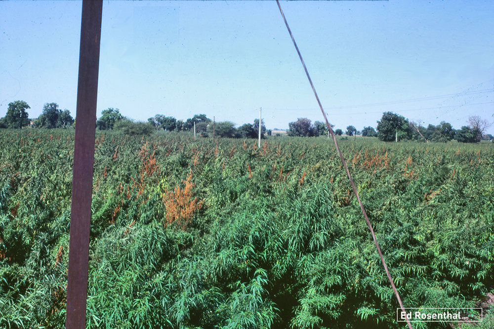Fusarium infected cannabis crop in India.