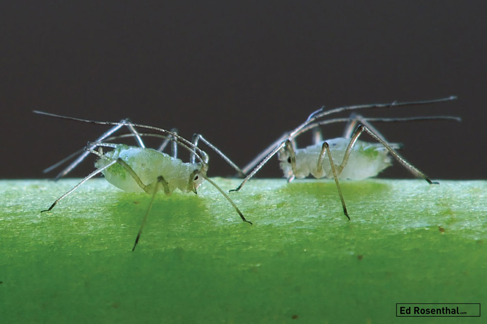 """Aphididae Puceron """"Aphid"""" - Photo by Luc Viatour"""
