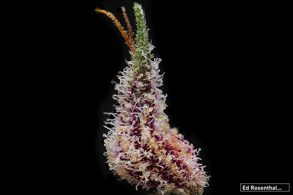 Huckelberry Kush by  Relic Seeds