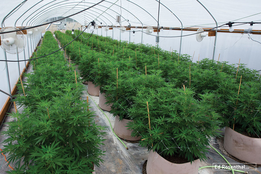 Starduster Greenhouse. Photo by Professor P at Dynasty Genetics.