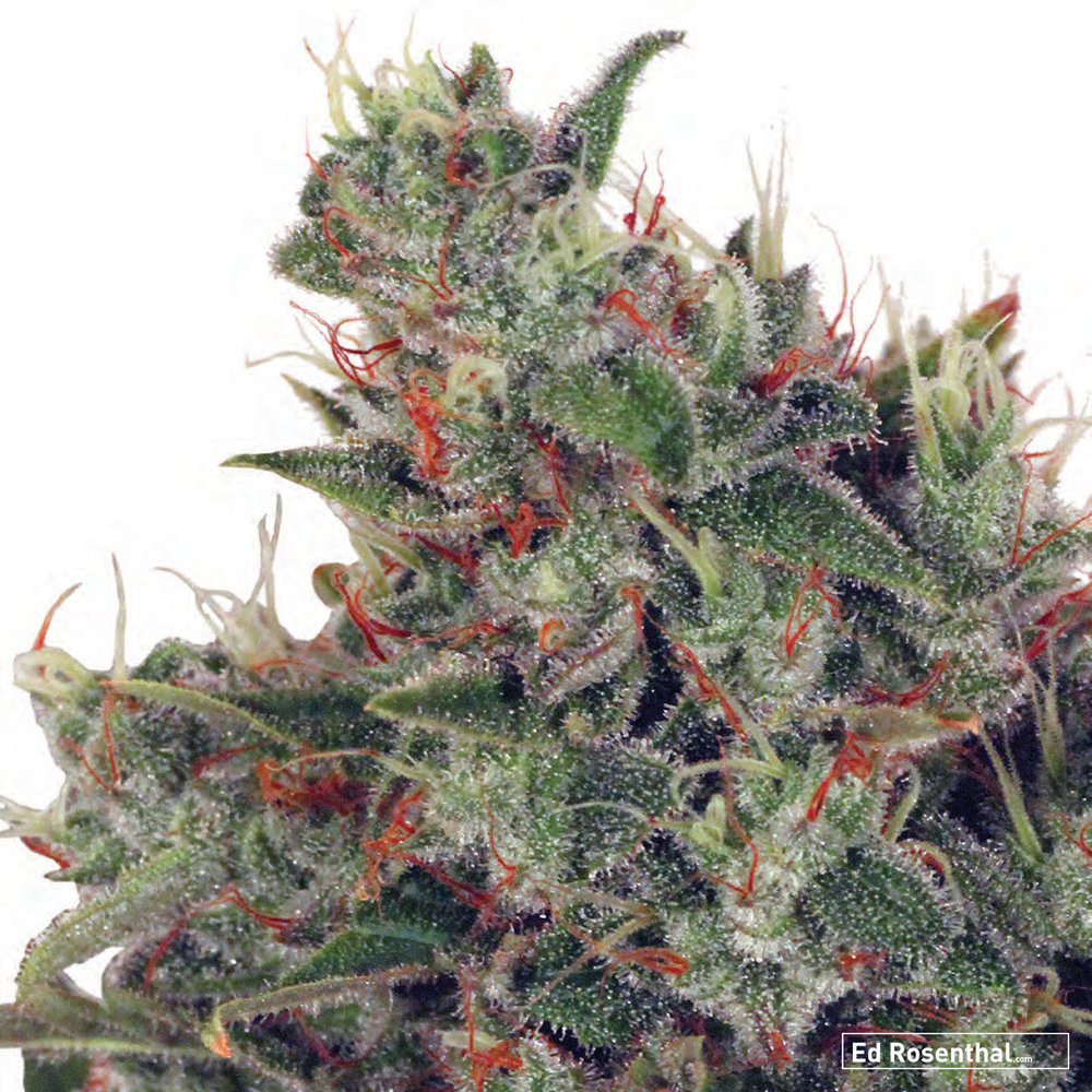 Ministry of Cannabis  - 80 S / 20 I - Happy, active, intense - Grapefruit, candy, flora