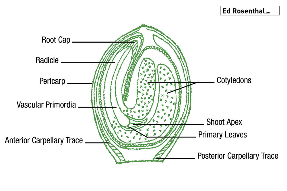Cannabis Seed Diagram