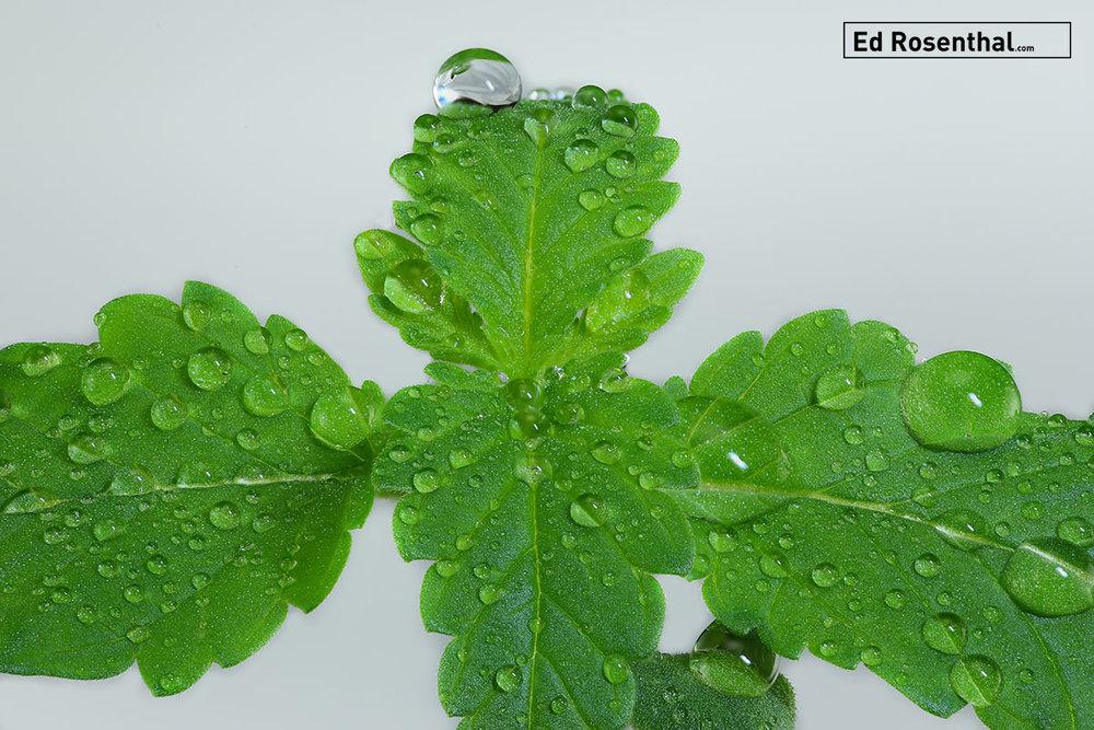 Cannabis seedling by Dynasty Genetics