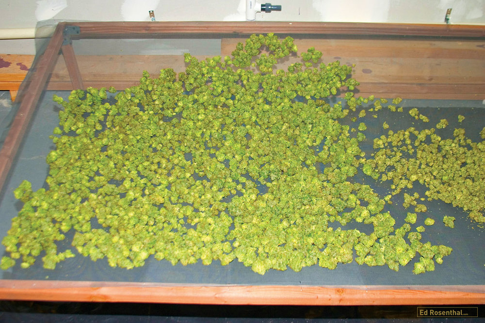 Buds drying on screens saves space and allows air to circulate freely.