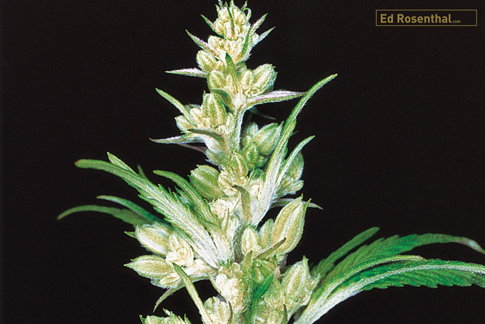 Male cannabis flower.