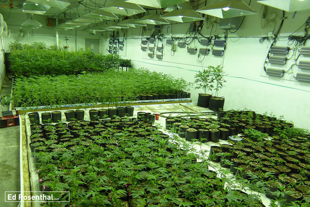 Indoor Cannabis Farm