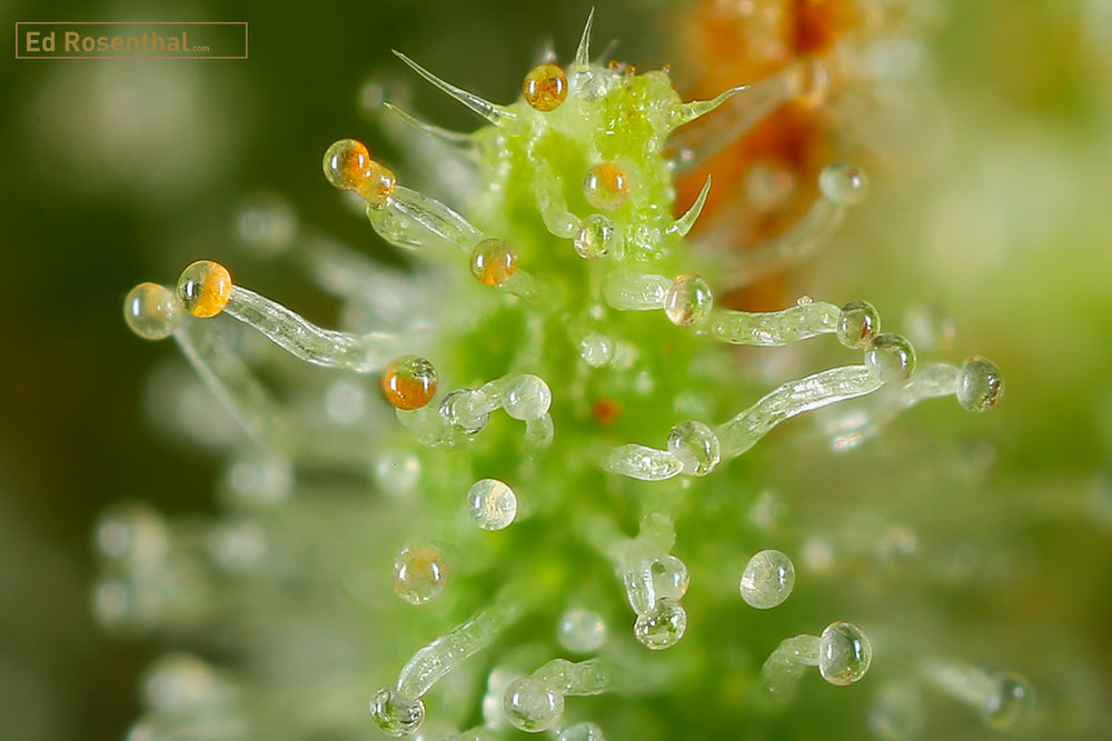 Blue Heron trichomes photo by  Dynasty Genetics