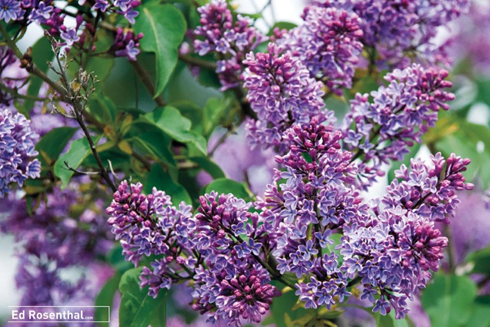 lilac-ed-rosenthal.jpg