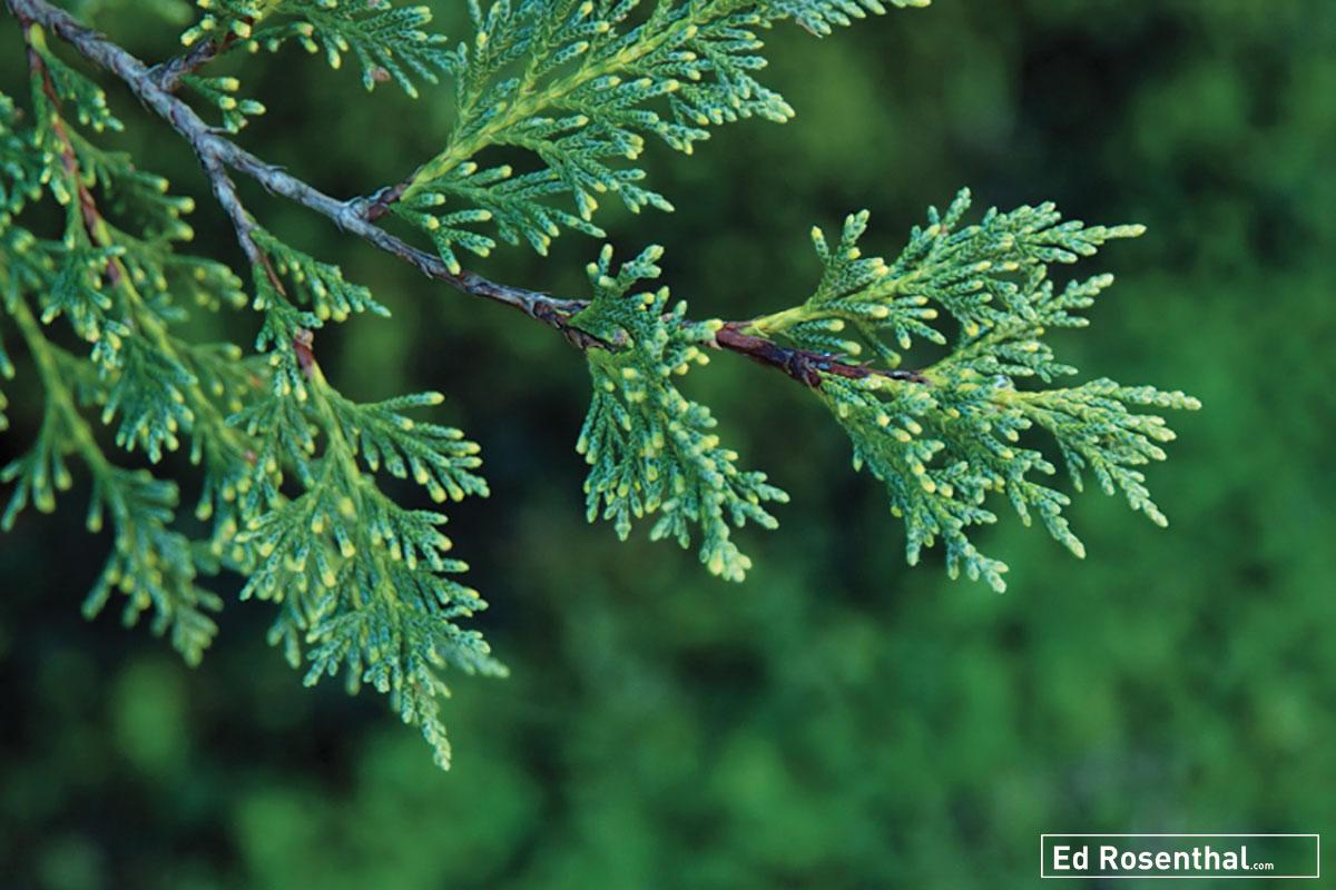 cedar-ed-rosenthal.jpg