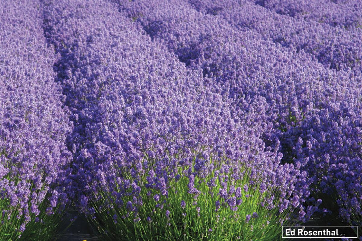 lavender-ed-rosenthal.jpg