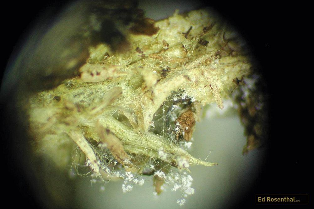 Close up of Botrytis Cinerea on marijuana bud