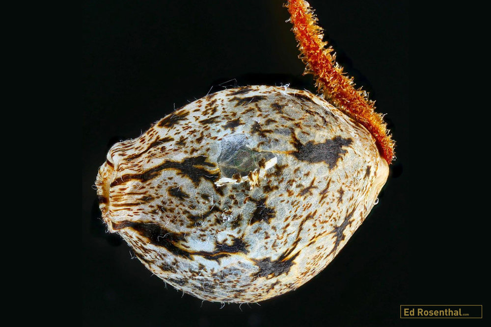 Micro close up of cannabis seed photo by  Professor P  of  Dynasty Genetics .